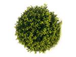 Ilex crenata Blondie® bolvorm 35/40 cm