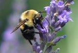 Lavandula intermedia Phenomenal - lavendel - Extra sterk/bloei_