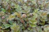 Acaena microphylla 'Kupferteppich' - stekelnootje/kopertapijt_