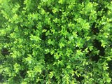 Ilex crenata green hedge bovenaanzicht