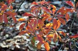 Enkianthus campanulatus herfstkleur