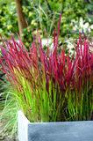 imperata cylindrica red baron japans bloedgras 2