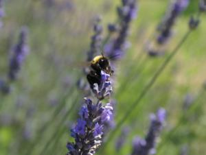 Lavendel 'lavandula angustifolia' dwarf blue