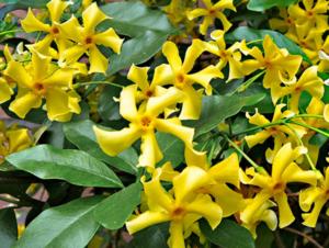 Toscaanse jasmijn 'Trachelospermum Star of Toscane' geel 50-60 cm