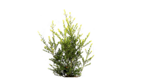 Ilex crenata green hedge 125-150 cm in pot