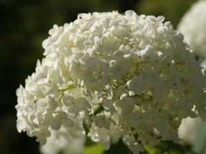 Hydrangea arb. 'strong annabelle®' 50 cm (incrediball®)