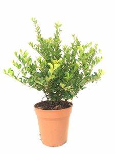 Ilex crenata green hedge 20-30 cm