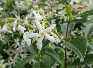 Toscaanse jasmijn 'Trachelospermum Jasminoides' wit 100-125 cm