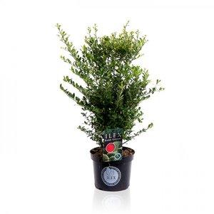 Ilex crenata Dark green® 30-40 cm