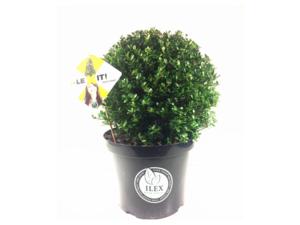 Ilex crenata Dark green® bolvorm 30/35 cm 'Japanse hulst'