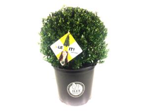 Ilex crenata Dark green® bolvorm 35/+ cm 'Japanse hulst'