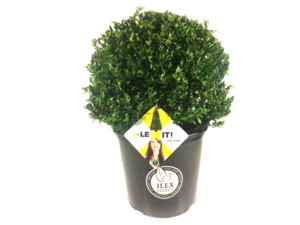 Ilex crenata Dark green® bolvorm 40/+ cm 'Japanse hulst'