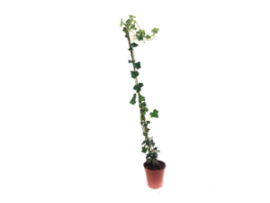 Hedera hibernica - klimop - gestokt 80-100 cm