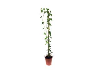 Hedera hibernica - klimop - gestokt 125-150 cm