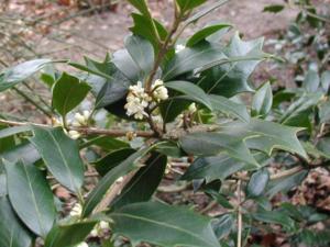 Osmanthus heterophyllus 40-60 cm
