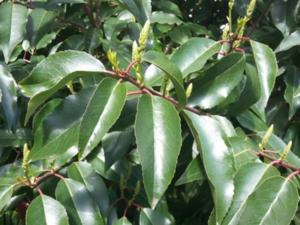 Prunus Laurocerasus 'Caucasica'-laurierkers 50-60 cm