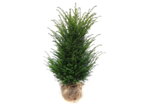 Taxus Baccata in kluit 150/175 cm EXTRA