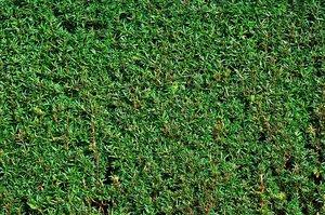 Taxus Baccata 60-80 cm