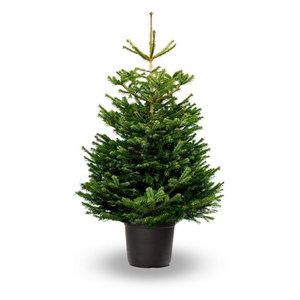 Nordmann kerstboom in pot gekweekt 150-175 cm