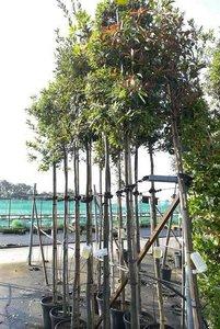 Quercus Ilex hoogstam 10/12