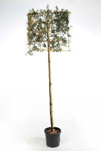 Quercus Ilex hoogstam 8/10 voorgeleid
