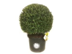 Ilex crenata Dark green® bolvorm 65/70 cm 'Japanse hulst'