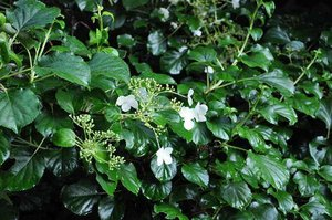 Hydrangea Anomala Petiolaris 'klimhortensia' 40-50 cm - laatste stuk!