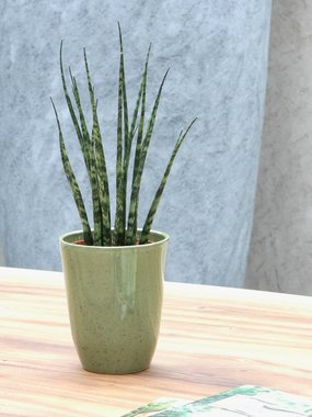 3 x Sanseveria 40 cm 'Sanseveria Fernwood Mikado'