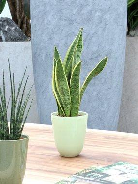 3 x Sanseveria 40 cm, vrouwentong 'Sanseveria laurentii'