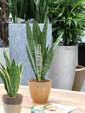2 x Sanseveria 65 cm, vrouwentong 'Sanseveria Zeylanica'
