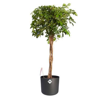 Vingersboom in ® ELHO sierpot zwart 120 cm