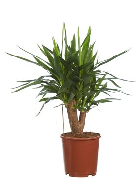 Yucca elephantipes - Palmlelie - 80 cm
