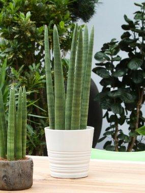 Sanseveria 'Straight' 45 cm - Luchtzuiverend