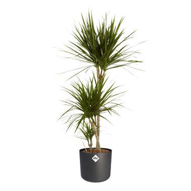 Dracaena Marginata in zwarte ® ELHO sierpot 130 cm