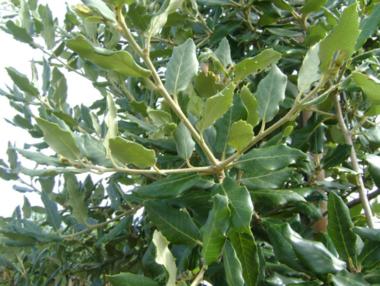 Steeneik - Quercus Ilex haag 60-80