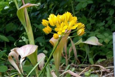 10 x Allium moly Jeannine - biologische bloembol
