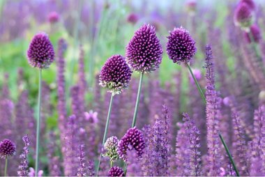 10 x Allium sphaerocephalon  - biologische bloembol