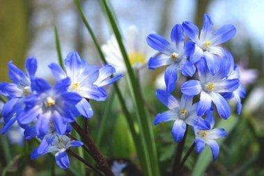 10 x Chionodoxa Blue Giant - biologische bloembol