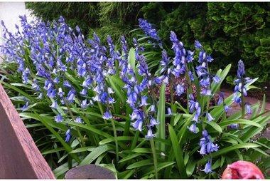 10 x Hyacinthoïdes hisp. Blauw  - biologische bloembol