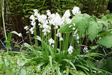10 x Hyacinthoïdes hisp. wit   - biologische bloembol