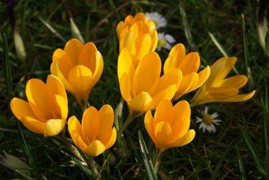10 x Krokus geel - biologische bloembol