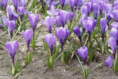 10 x Krokus grand Maitre - biologische bloembol