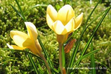 15 x Krokus Romance - biologische bloembol