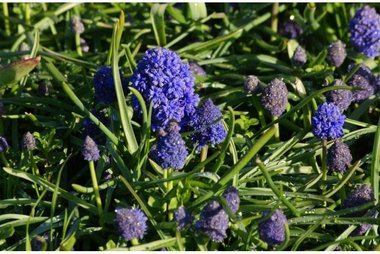 10 x Muscari Fantasy Creation - biologische bloembol