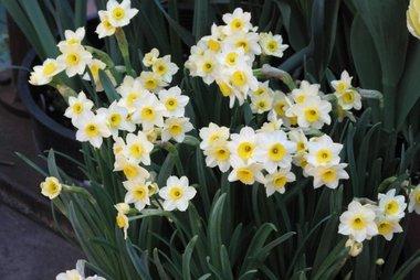 10 x Narcissus Minnow - biologische bloembol