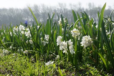 10 x Puschkinia libanotica Alba - biologische bloembol