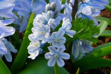 10 x Puschkinia libanotica - biologische bloembol