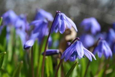 10 x Scilla Siberica - biologische bloembol