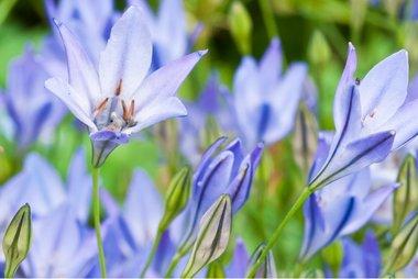 10 x Triteleia Corrina - biologische bloembol
