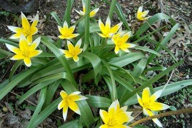 10 x Tulipa Tarda - biologische bloembol